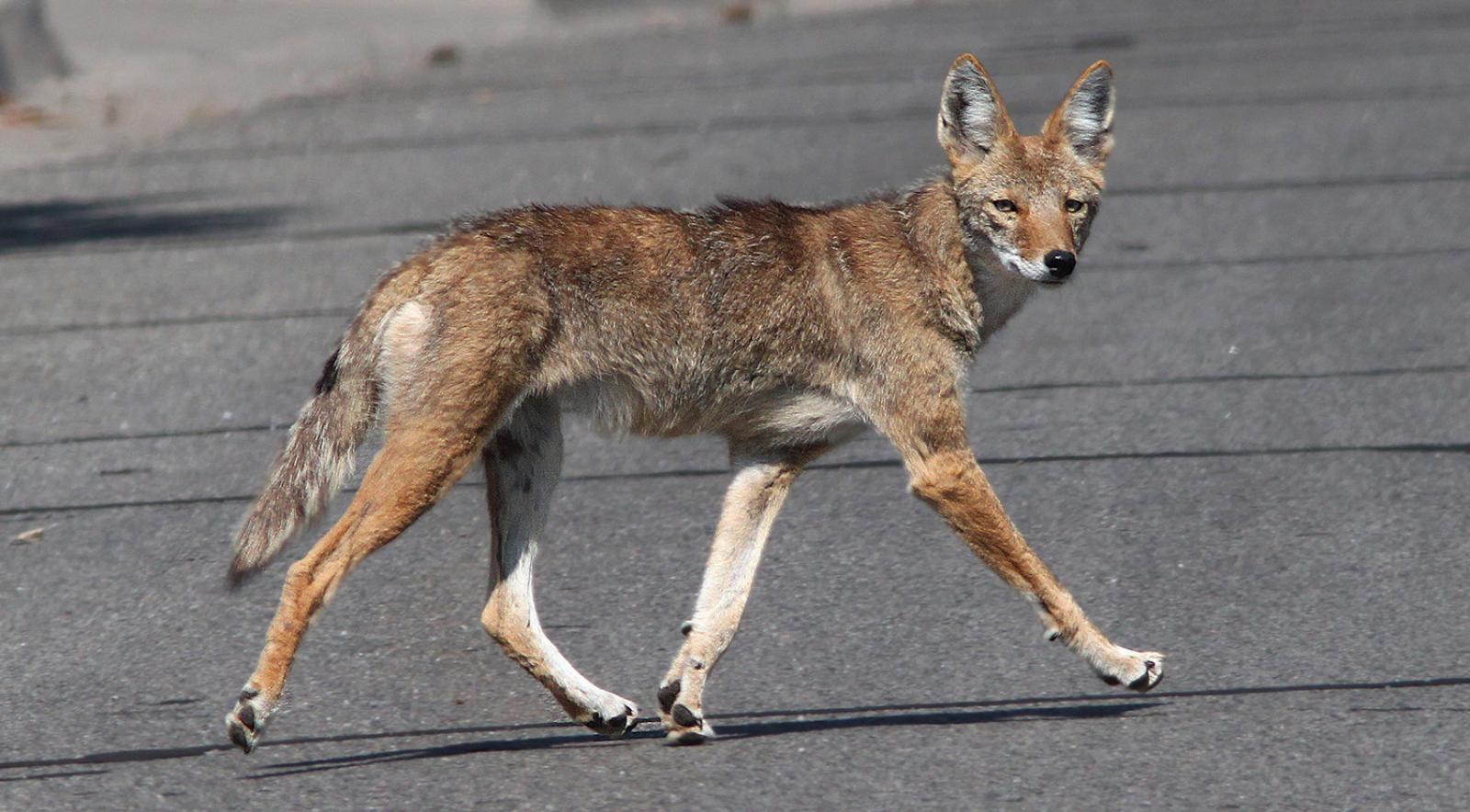 A coyote runs
